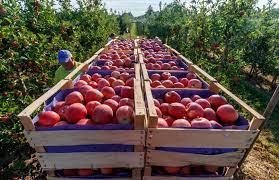۱۰۰۰ تن سیب در آستانه فساد، چرا سیب مورد نیاز خراسان شمالی از ارومیه تأمین میشود؟