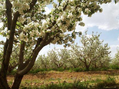 گرده افشانی زنبورهای عسل در باغات دماوند+عکس